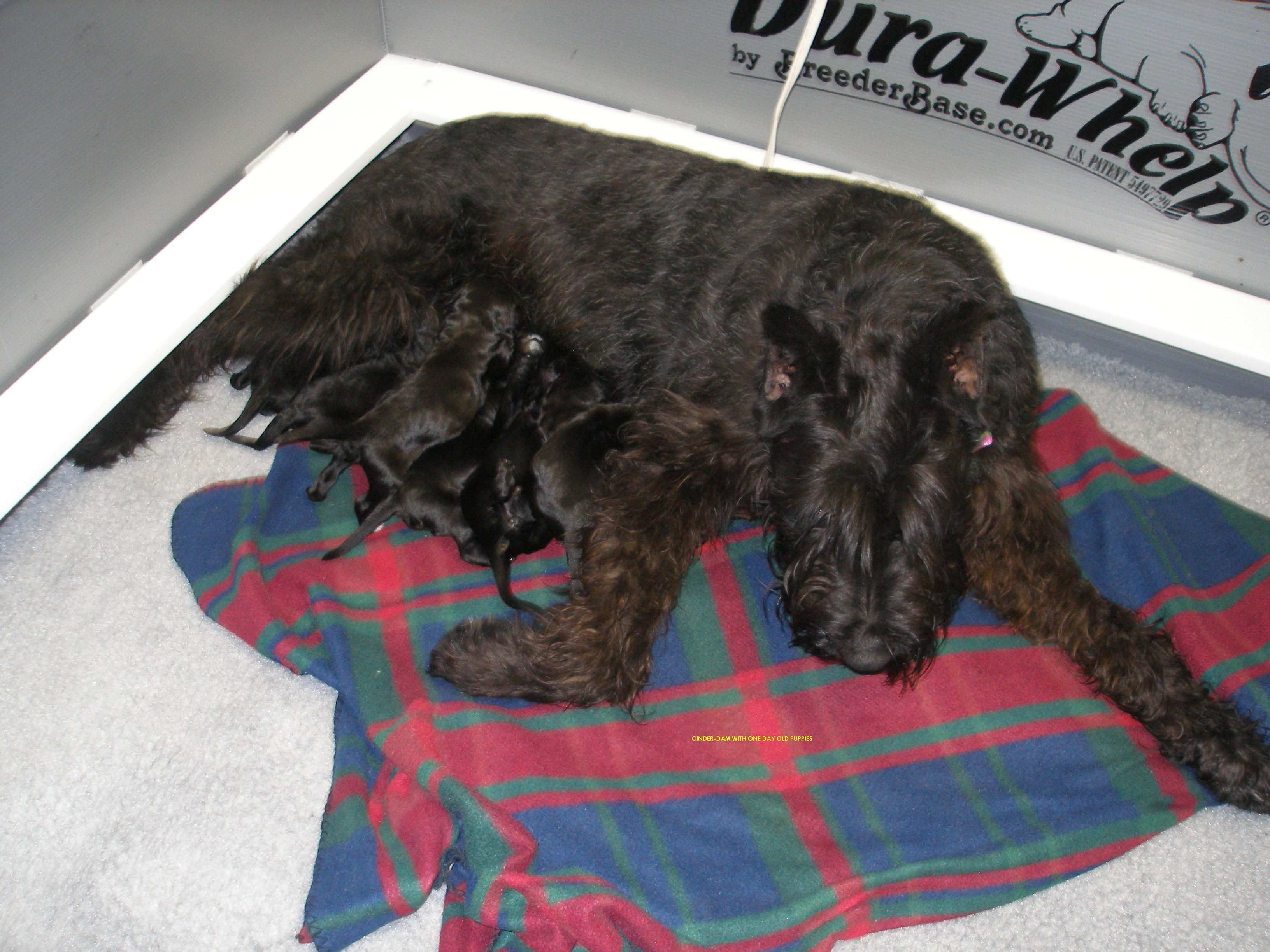 Giant Schnauzer Mom with new Giant Schnoodle Babies