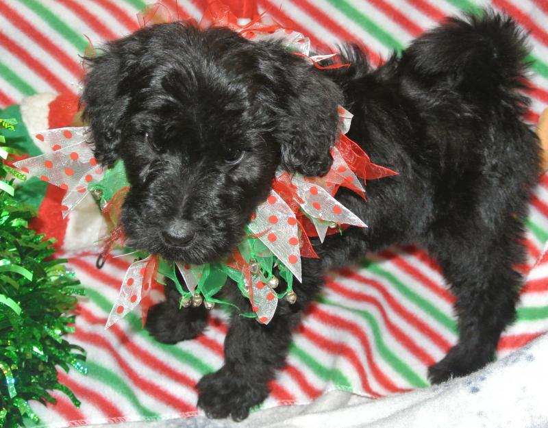 GIANT SCHNOODLE FEMALE IS AVAILABLE