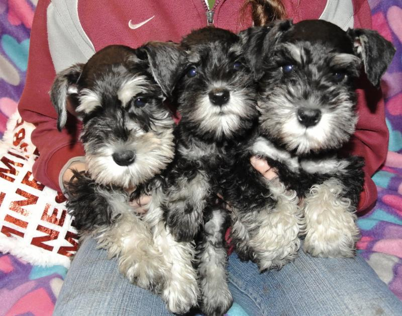 Available Miniature Schnauzer girls!