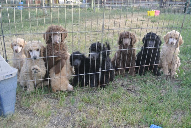 Standard Poodle puppies ready to go!