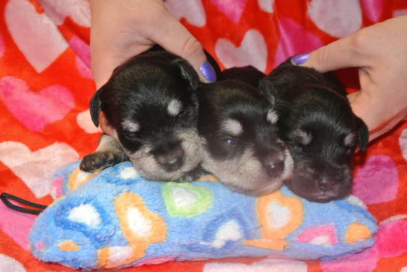 Newest Miniature Schnauzer boys!