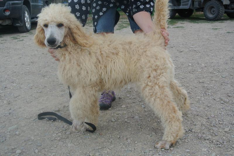 Available Standard Poodle boy!