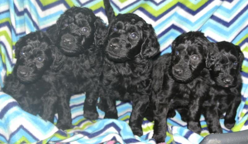 Giant Schnoodle boys at 5 weeks!