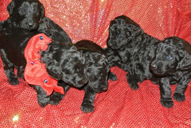 FOUR AVAILABLE GIANT SCHNOODLE GIRLS AR 3 WEEKS OLD!