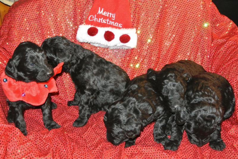 AVAILABLE GIRLS FROM OCT. 26, 2014 LITTER!