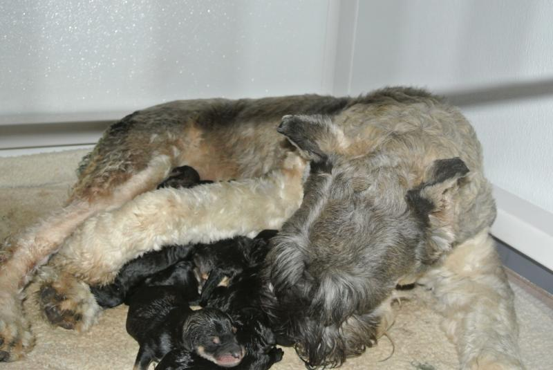 OUR GORGEOUS PEPPER & SALT AKC GIANT SCHNAUZER MOM WITH HER NEW BABIES!