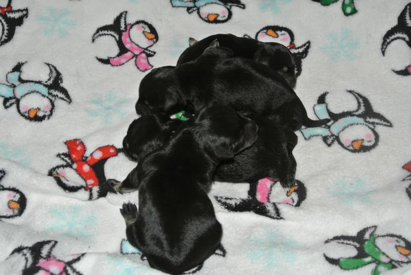 Four gorgeous black & silver Miniature Schnauzer girls are available!
