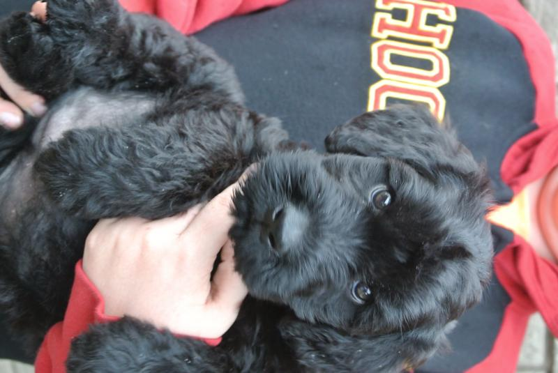 AVAILABLE GIANT SCHNAUZER MALE PUPPY!