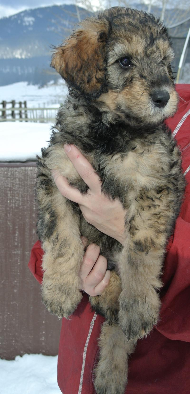 Phantom platnium silver Giant Schnoodle male available!