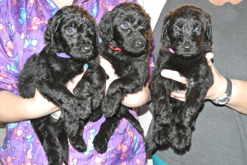Female Giant Schnoodle puppies available.