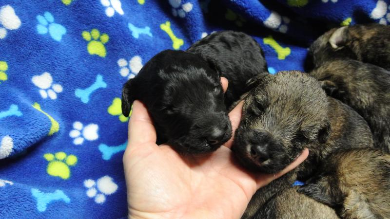 2 week old GIANT SCHNOODLE boys!