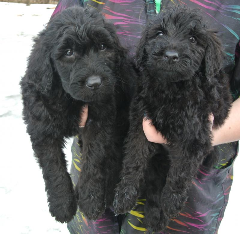 7 week old Giant Schnoodle boys!