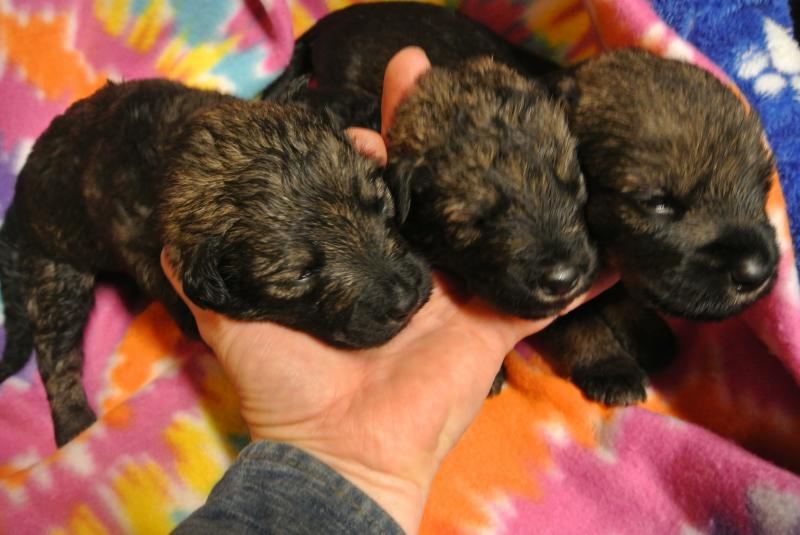 2 WEEK OLD GIANT SCHNOODLE GIRLS!