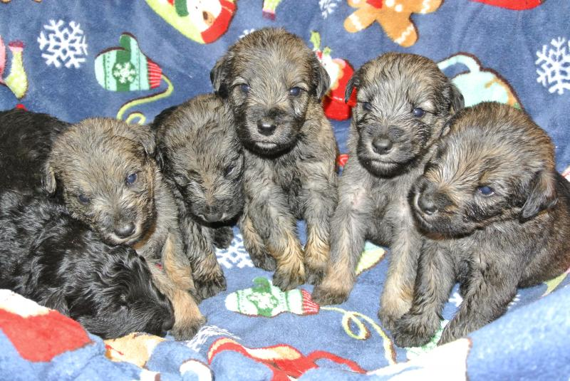 GIANT SCHNOODLE BOYS AT 3 1/2 WEEKS OLD!