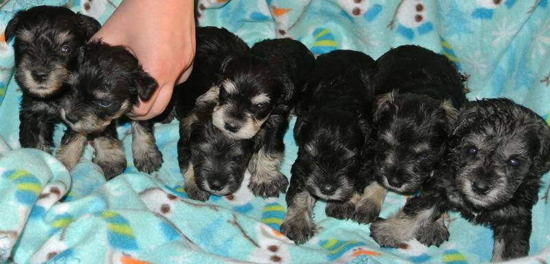 4 WEEK OLD LITTER OF SALT & PEPPERS AND BLACK & SILVERS!