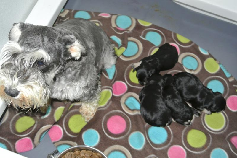 "MOMMA ""ASPEN"" WITH NEW PUPPIES! HENRY IS THE SIRE!"