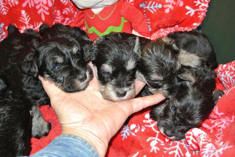 AVAILABLE MALE MINIATURE SCHNAUZER PUPPIES AT FOUR WEEKS OLD!