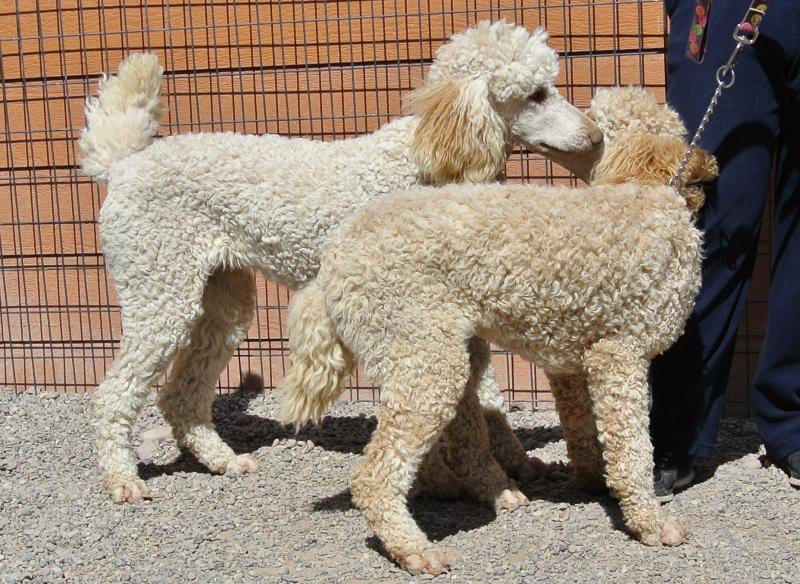 CHANEL & PHOEBE OUR STANDARD POODLE SISTERS.