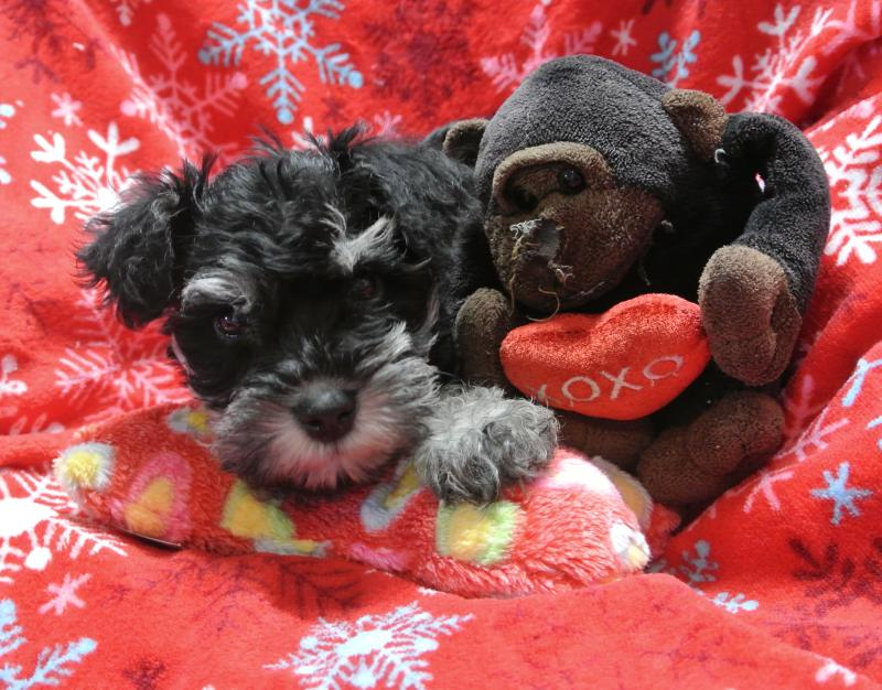 BLACK & SILVER MALE MINIATURE SCHNAUZER BABY READY NOW!