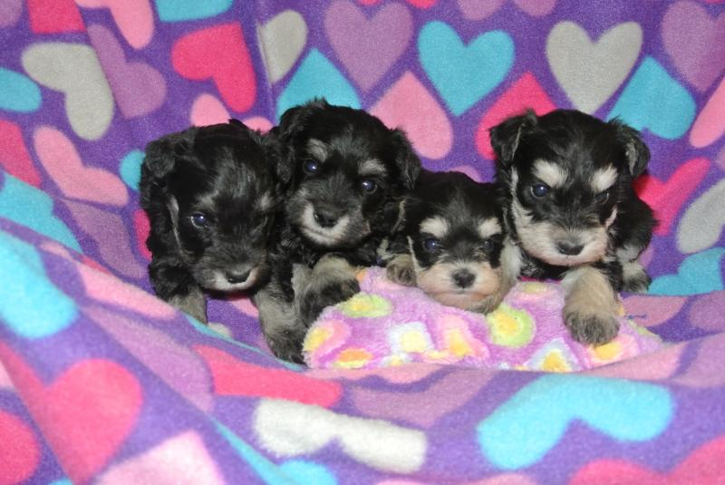 BLACK & SILVER MINIATURE SCHNAUZER FEMALE BABIES READY FOR HOMES MARCH 6.