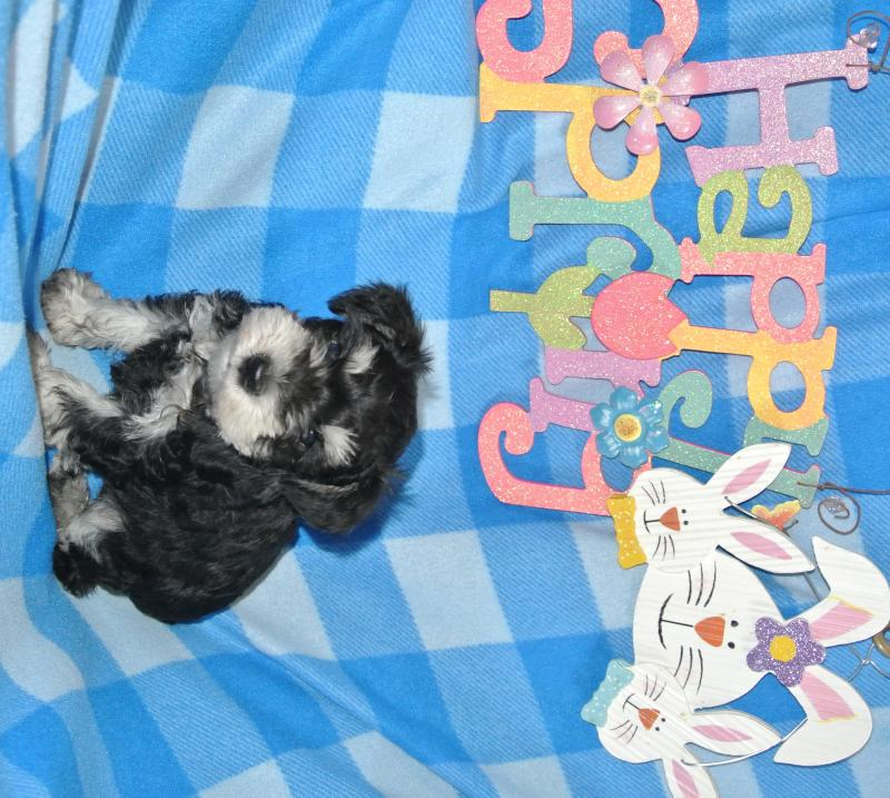 AVAILABLE MALE MINIATURE SCHNAUZER!