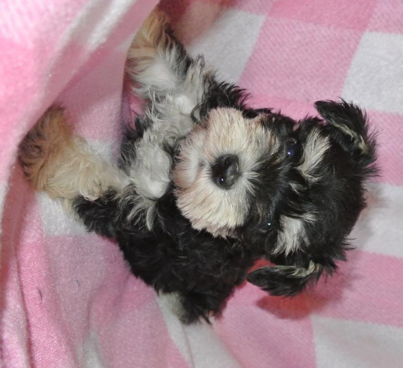 AVAILABLE FEMALE MINIATURE SCHNAUZER!