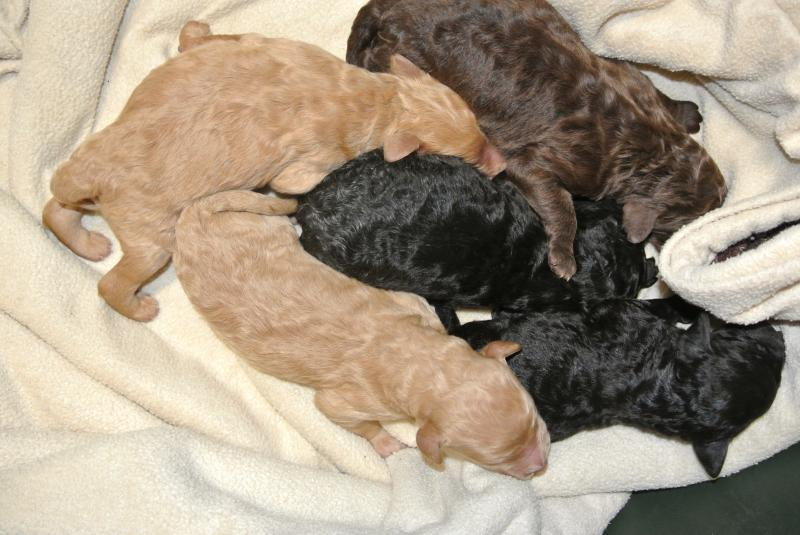 AKC Standard Poodle litter! One male is available!