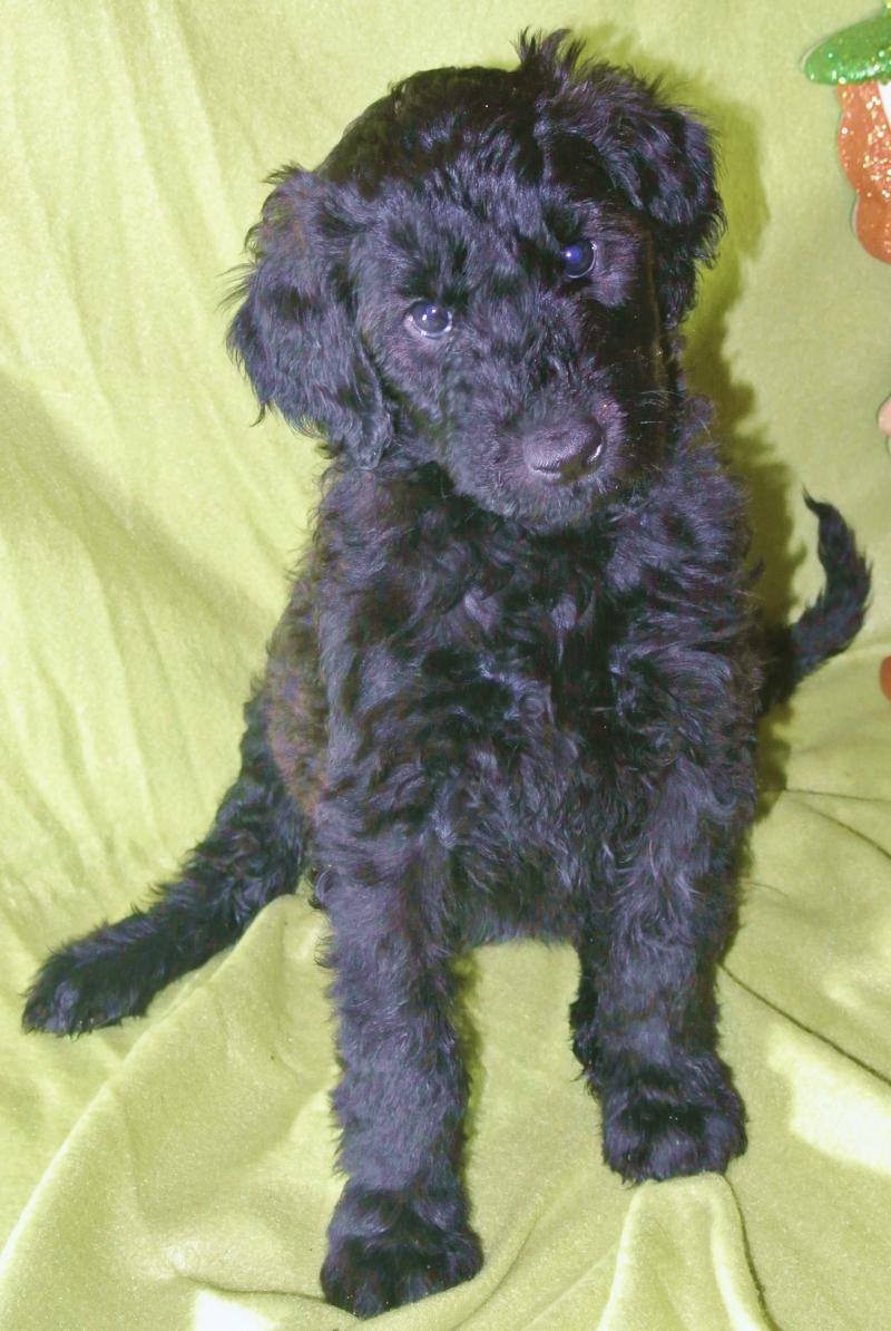 Giant Schnoodle female available now!
