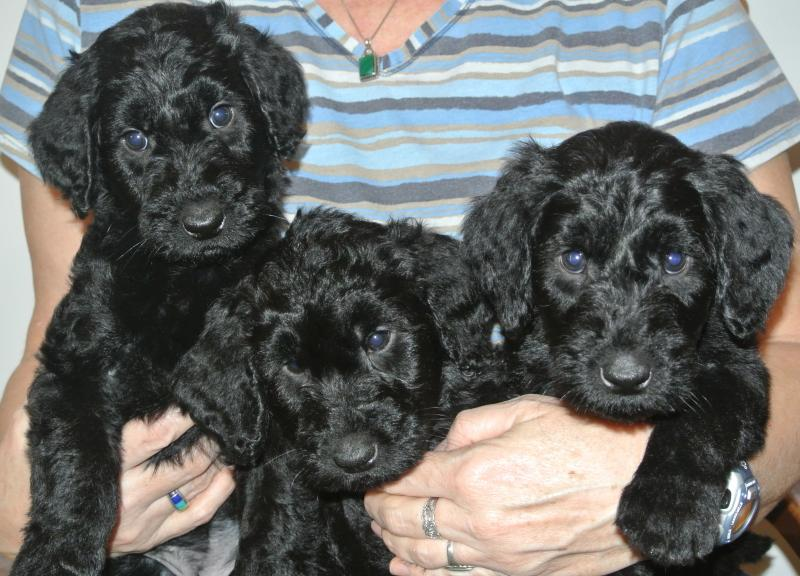 Our Three Available Giant Schnoodle girls!