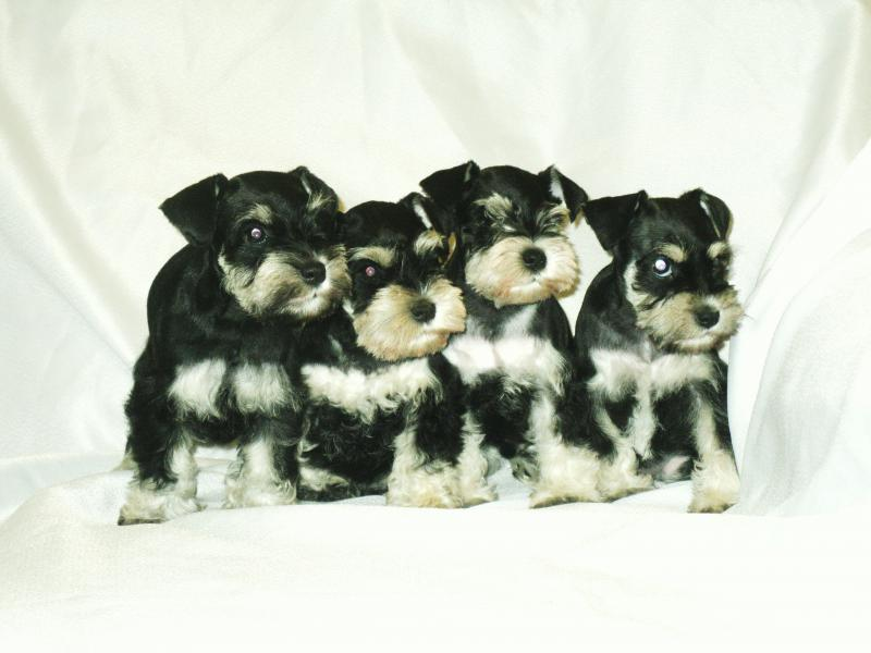 Our Current Miniature Schnauzer litter