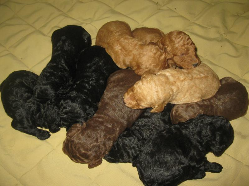 LITTER OF STANDARD POODLES AT 2 WEEKS OLD