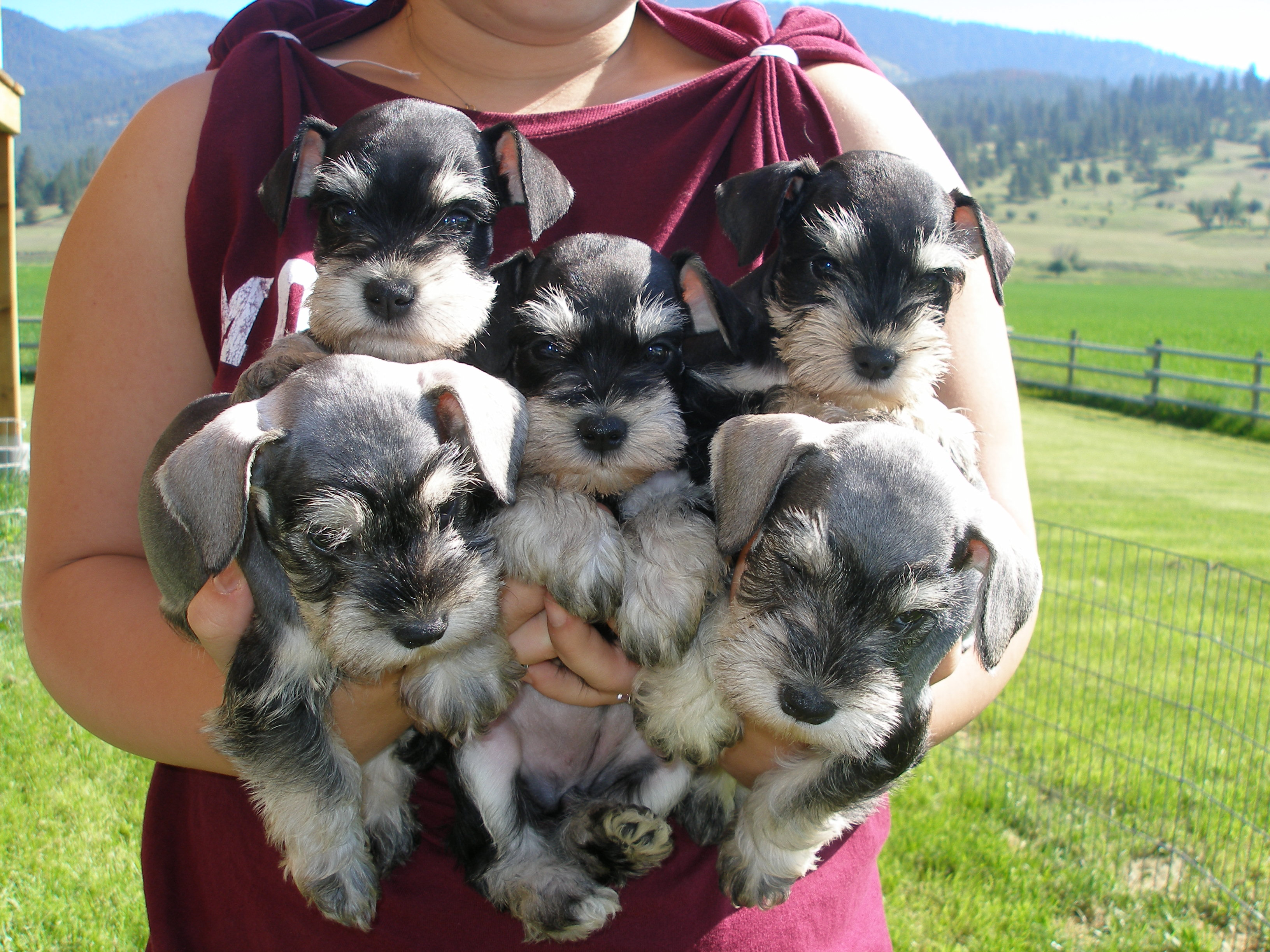 French Valley Ranch S Giant Schnoodles And Miniature