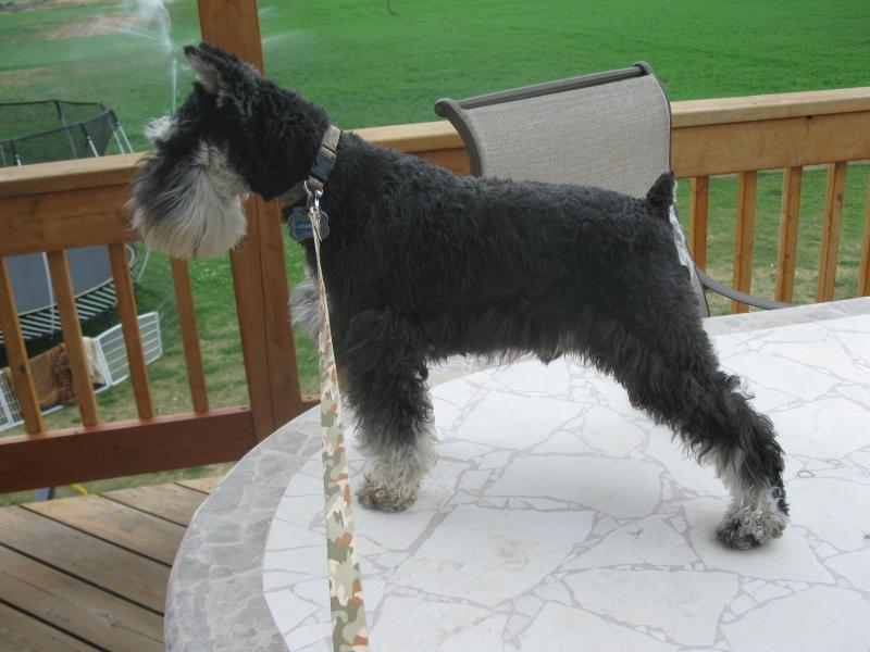 Giant Miniature Schnauzers and Schnoodles