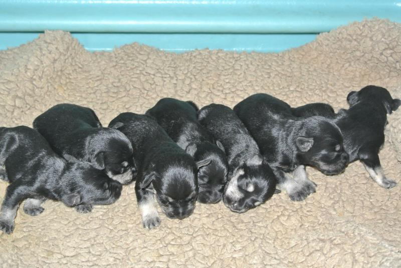 June 27, 2013 litter at 9 days old.