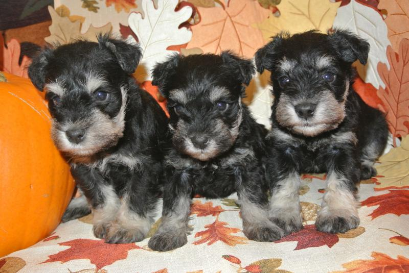Five week old litter on Nov. 3, 2013.