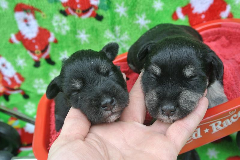 Paisey's two boys at two weeks. Smaller one available.