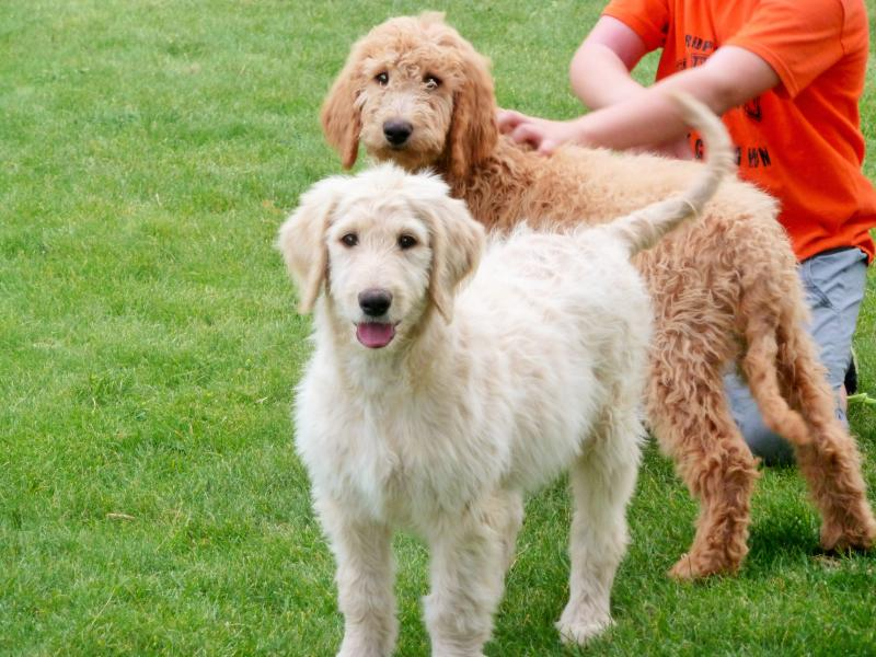 F1B DOODLES CREAM FEMALE, RED MALE AVAILABLE!