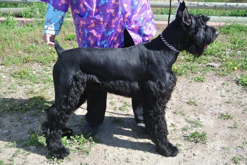 Zuess our awesome Giant Schnauzer male sire.