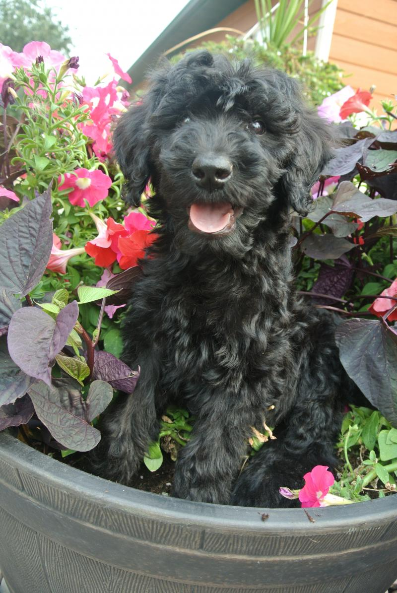 Giant Schnoodle male available