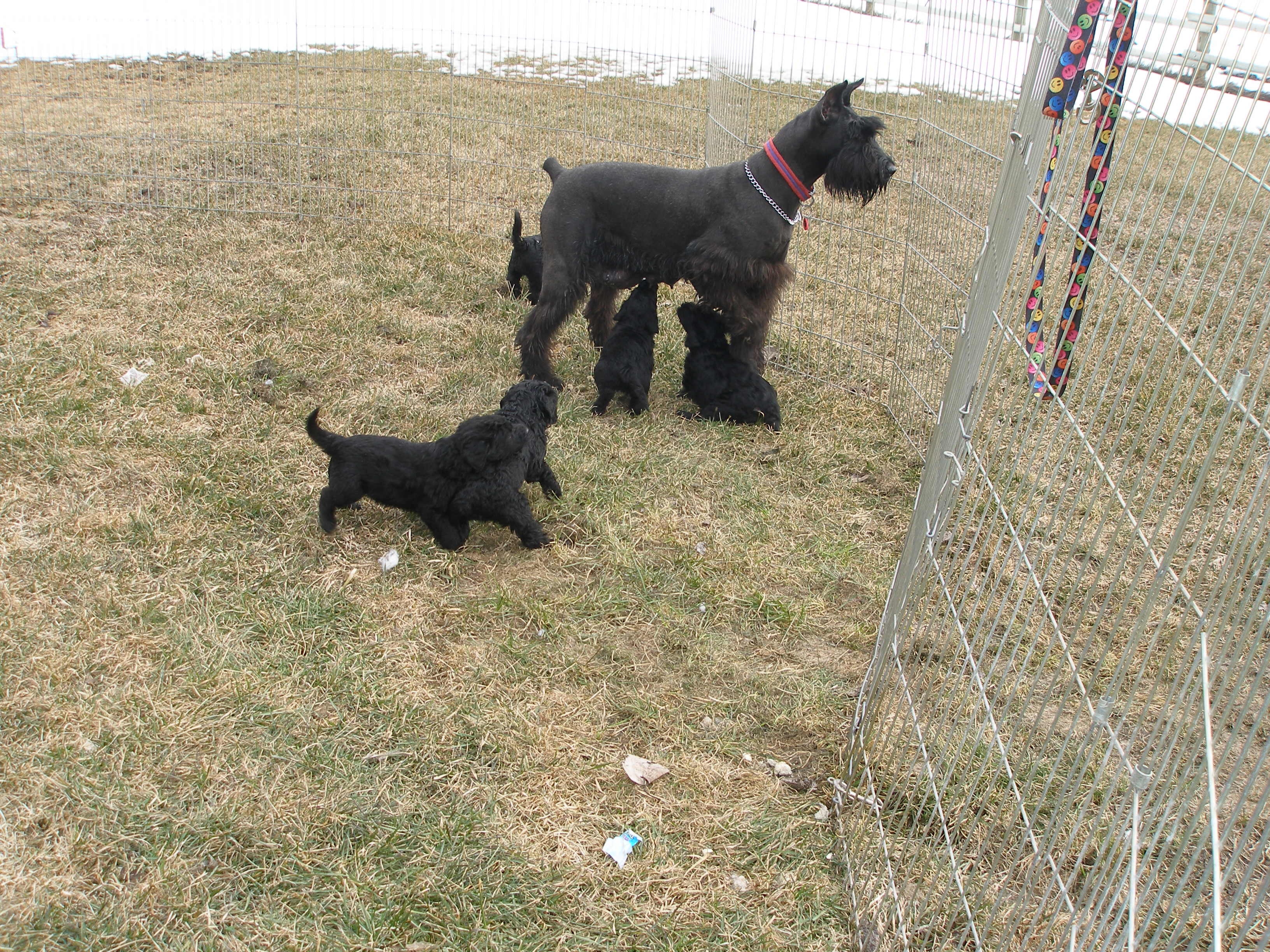 Giant Schnauzer mom with 5 week old Giant Schnoodle Puppies.