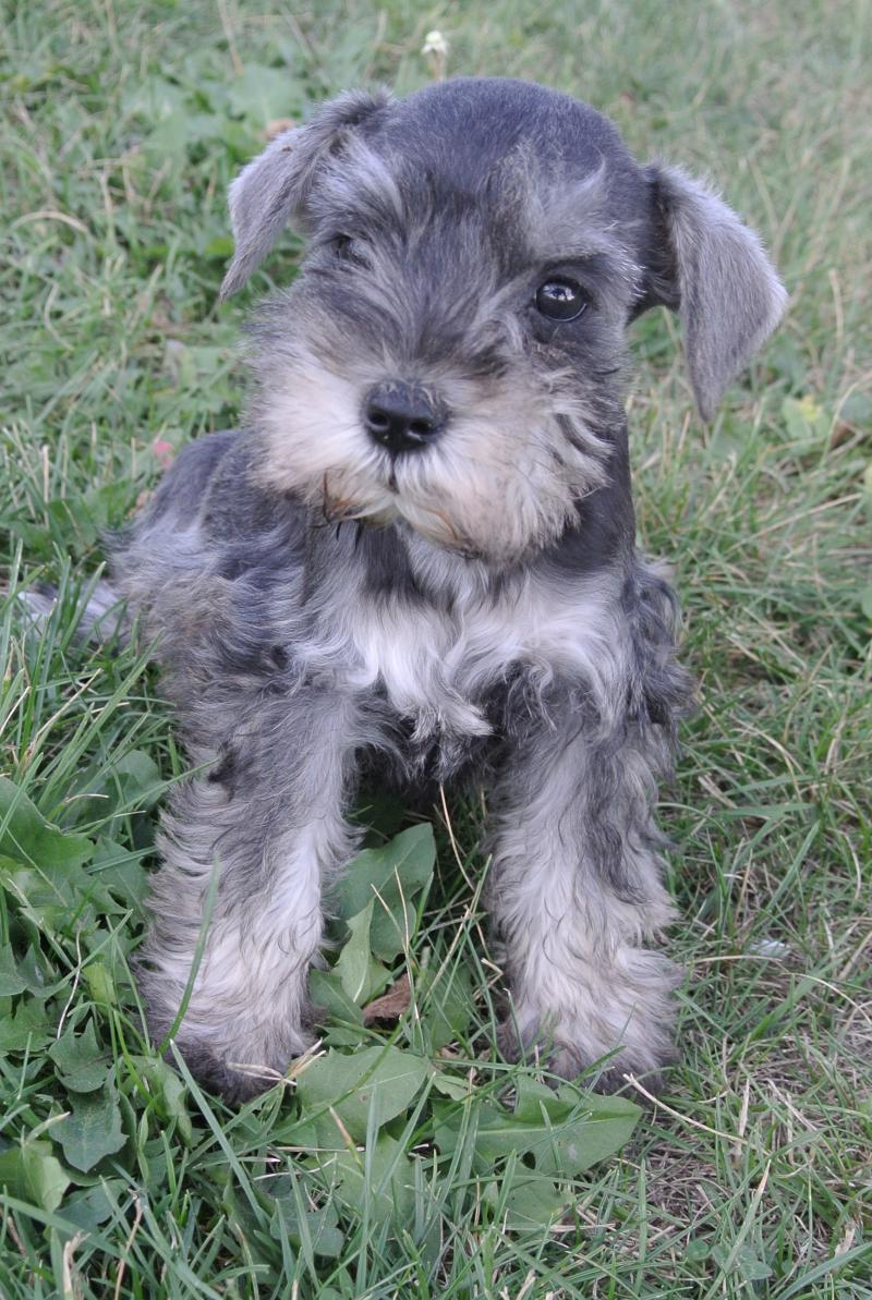Miniature Schanuzer little male available