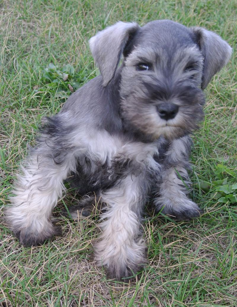 Miniature Schnauzer male puppy available