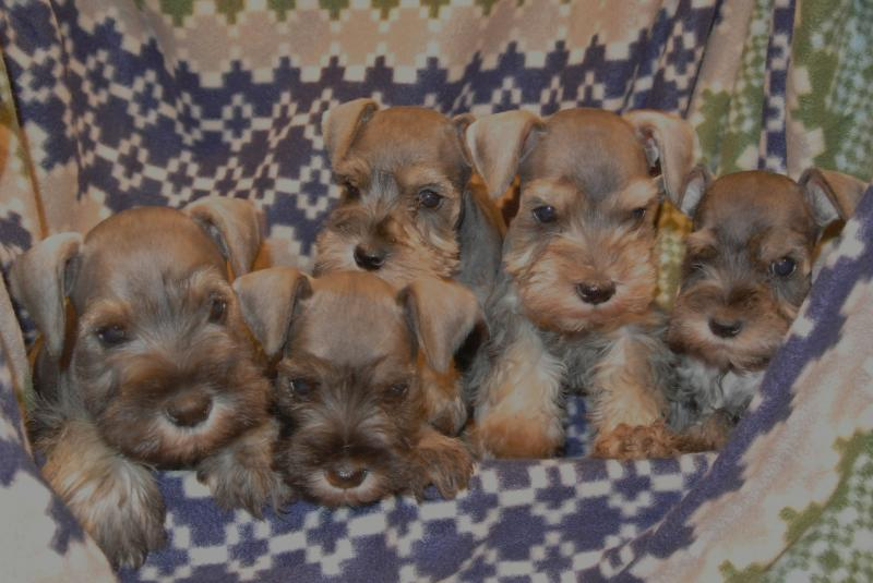 July 18, 2013 litter of AKC Miniature Schnauzers
