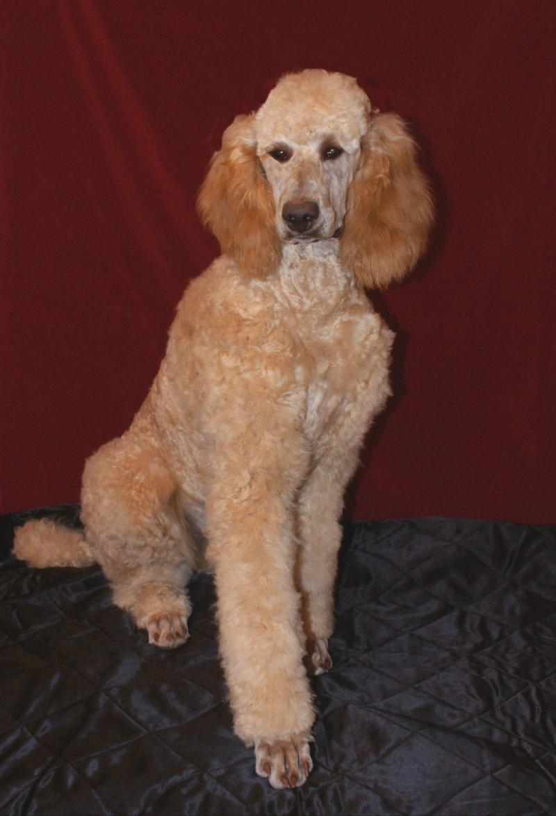 OUR STANDARD POODLE SIRE, RUDY.