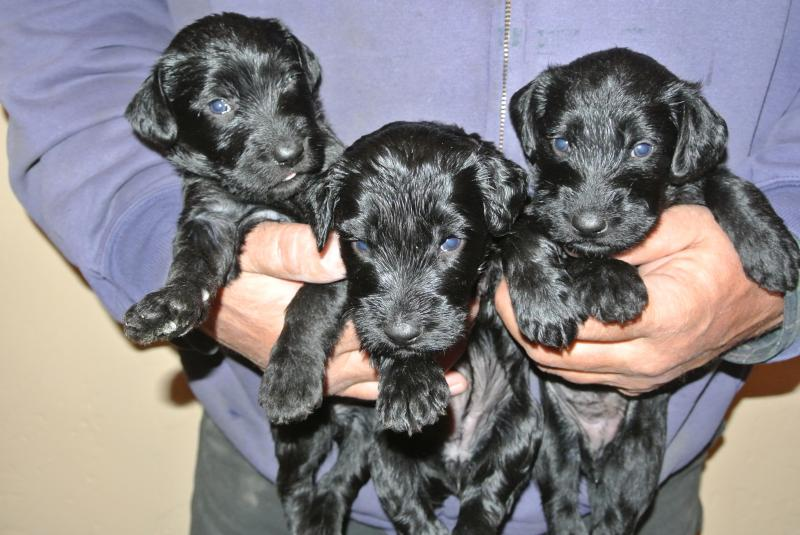 picture below is litter at 3 weeks old. right after they had their