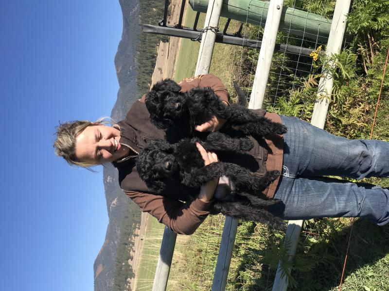 8 WEEK OLD GIANT SCHNOODLE BABIES READY NOW!!