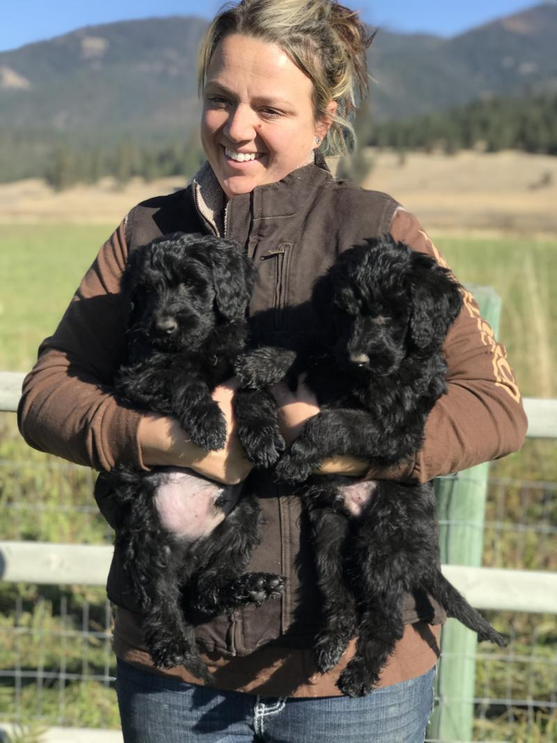 8 WEEK OLD GIANT SCHNOODLE MALE BABIES READY NOW!!